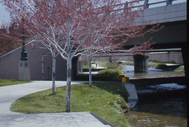Blooming Tree at South Platte River Greenway